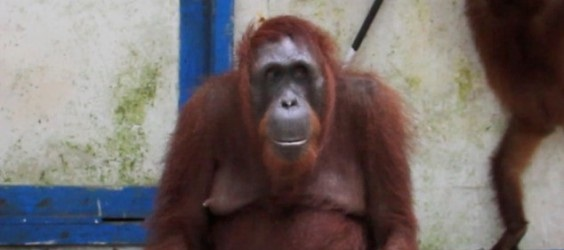 This Primate Came Across A Park Ranger's Closet. What She Did After Blew Me Away. Cleverly Fun!