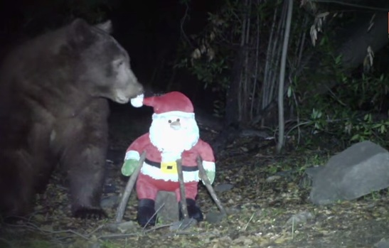 """Watch How This Wild Bear Reacts After Seeing A """"Santa Claus Toy"""""""