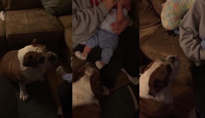 This Cute And Caring Bulldog Kisses His Human Sister