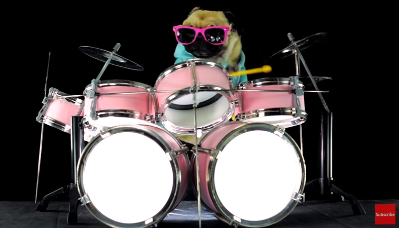 Pug Performs A Drum Cover Of The Song u201cEnter Sandmanu201d