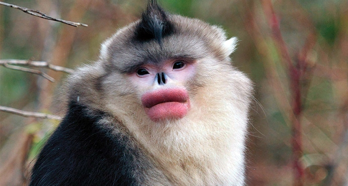 These Monkeys Seem To Make Women Envious With Their Pouty Red Lips – Unbelievable