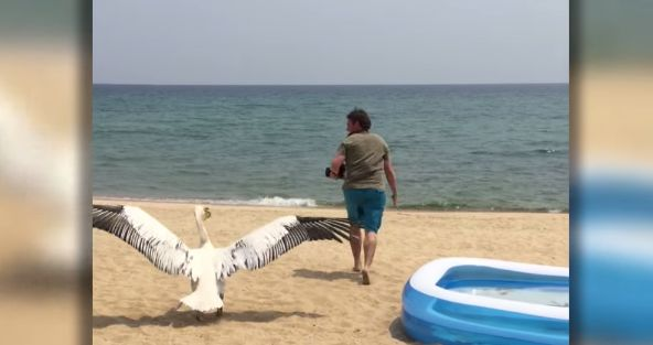 Meet the Odd Pelican That Can't Fly or Fish. Catch How These People Teach It.