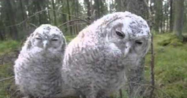 Weird Sleepy Owls: Watch Their Mind Conditioning Moves!