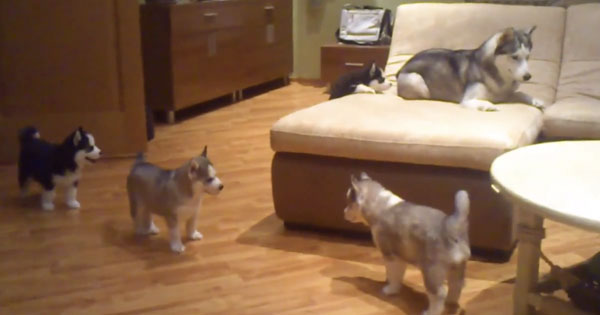 Adorable Husky Mom Plays With Her Pups In The Most Fun Way